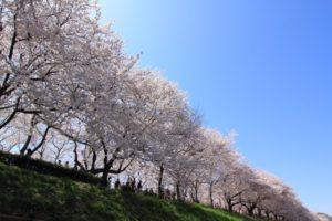 権現堂公園 桜 混雑