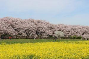 桜 菜の花 関東